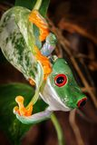 Head down red eyed tree on the leaf. Red eyed tree frog climbing on the leaf and looks to camera stock photography