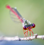Head of the dragon fly Stock Photo