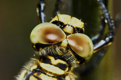 The head of a dragonfly Stock Photos