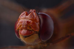 Head of dragonfly - ruddy darter Sympetrum sanguineum Royalty Free Stock Images