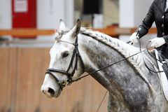 Head of a dressage horse in action Royalty Free Stock Image