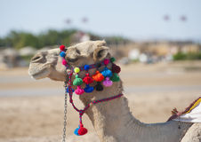 Head of dromedary camel with ornate bridle Royalty Free Stock Images