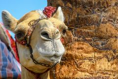 Head of dromedary domesticated riding camel tied up with metal chain royalty free stock image