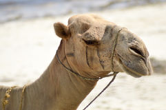 Head of a dromedary with the ocea Royalty Free Stock Image