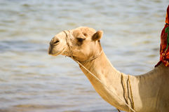 Head of a dromedary with the ocean Royalty Free Stock Photo