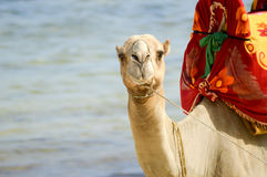 Head of a dromedary with the ocean Royalty Free Stock Photography