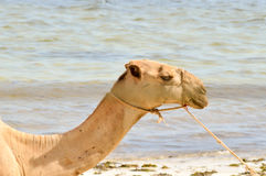Head of a dromedary with the ocean in background on the beach of Royalty Free Stock Photography