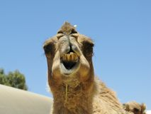 The head of a dromedary Royalty Free Stock Image