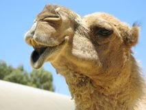 The head of a dromedary Stock Photography
