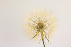 Head of dry dandelion isolated Royalty Free Stock Images