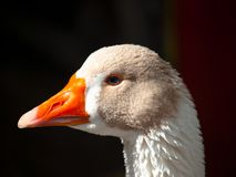 Head of duck Royalty Free Stock Photography