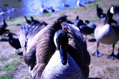 Head on Duck Stock Photos