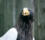 Head of a  eagle Stock Photos