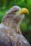 The head of an eagle Royalty Free Stock Photo