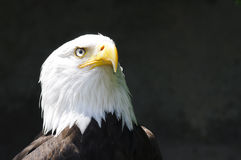 Head of eagle. Close-up of head of American eagle stock images