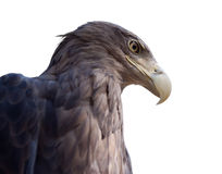 Head of  eagle. Isolated over white Royalty Free Stock Photo
