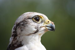 Head of an eagle. Head of a small eagle Stock Photography