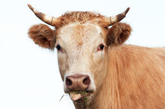 Head of eating cow Stock Photo