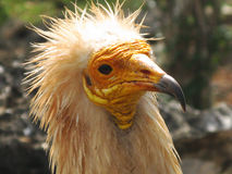 Head of egyptian vulture Stock Photos