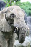Head of elephant. African elephant at the zoo Stock Photography