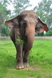 Head of elephant Royalty Free Stock Image