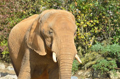 Head of elephant Stock Images