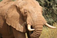 Head elephant Stock Image