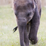 Head of elephant Asian or Asiatic elephant Royalty Free Stock Image