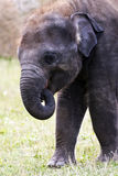 Head of elephant Asian or Asiatic elephant Royalty Free Stock Photo