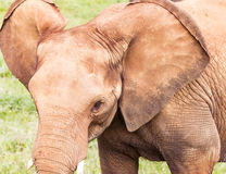 Head of an elephant close up Stock Photos