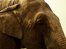 The head of an elephant. In detail with the eyes Royalty Free Stock Photo