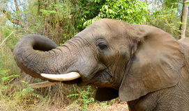 Head of an elephant in Kruger National Park Royalty Free Stock Photos
