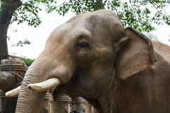Head of elephant with tusks at the zoo Royalty Free Stock Photo