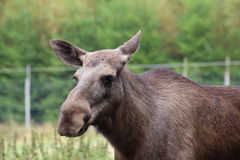 Head of an elk (Alces alces) without antlers Royalty Free Stock Photo