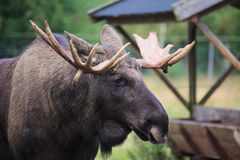Head of an elk (Alces alces) with mighty antlers.  Stock Images
