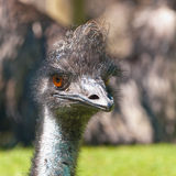 Head of an emu. The largest native bird in Australia Royalty Free Stock Image