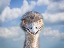 Head of an emu Stock Photos