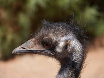 The head of a Emu in Australia Royalty Free Stock Image
