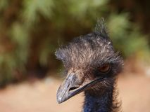 The head of a Emu in Australia Royalty Free Stock Photos