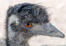 Head of a emu bird, orange eyes Stock Photography
