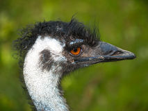 Head of emu bird Royalty Free Stock Images