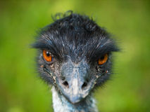 Head of emu bird Stock Photography