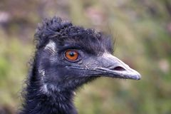 Head of the emu Royalty Free Stock Image