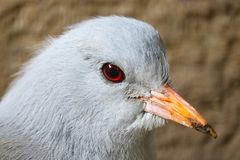 Head of an endangered and threatened kagu bird in quarter front view. Head of an endangered and threatened kagu rhynochetos jubatus bird in quarter front view royalty free stock photography