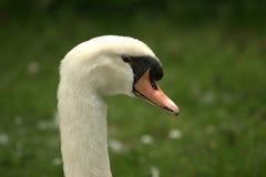 head enkla swans Royaltyfri Foto