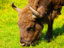 Head of european bison Royalty Free Stock Photography