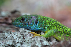 Head of european green lizard (Lacerta viridis) Stock Image
