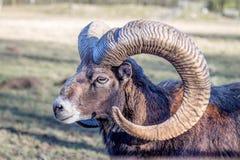 Head of an European Mouflon Royalty Free Stock Photo