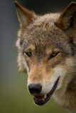 The head of a European Wolf. Closeup of the head of a European Wolf Royalty Free Stock Photo