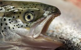 Head with eye fish salmon large teeth open-mouth predator. Stock Images